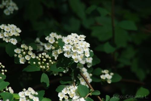 Floarea miresii_Cris